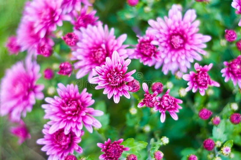 Fondo del crisantemo fotografie stock libere da diritti
