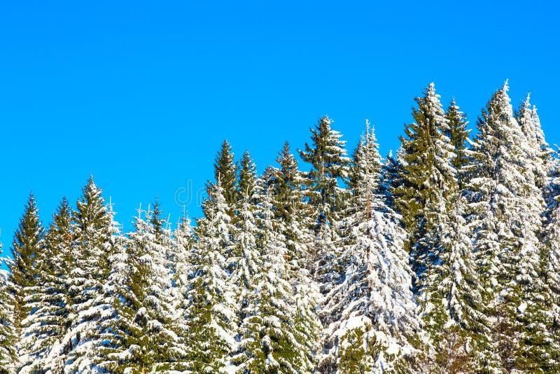 Fondo del día de fiesta de la Navidad del invierno con los árboles de pino nevosos y el cielo azul imagen de archivo