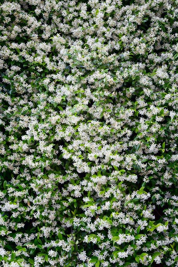 Fondo del fiore del gelsomino fotografia stock