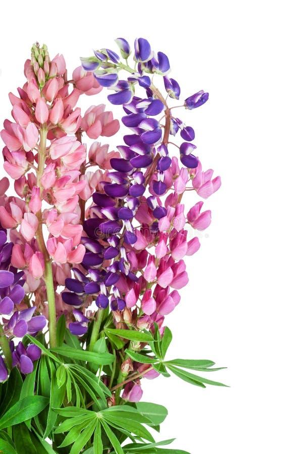 Fondo del fiore del lupinus lupino fotografia stock libera da diritti