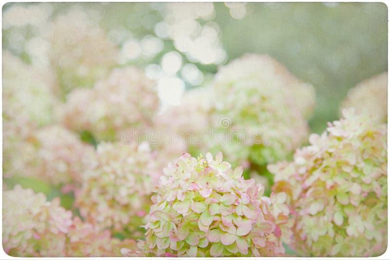 Fondo del fiore dell'ortensia fotografia stock libera da diritti