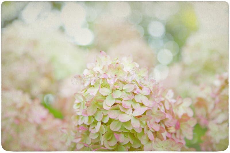 Fondo del fiore dell'ortensia immagini stock libere da diritti