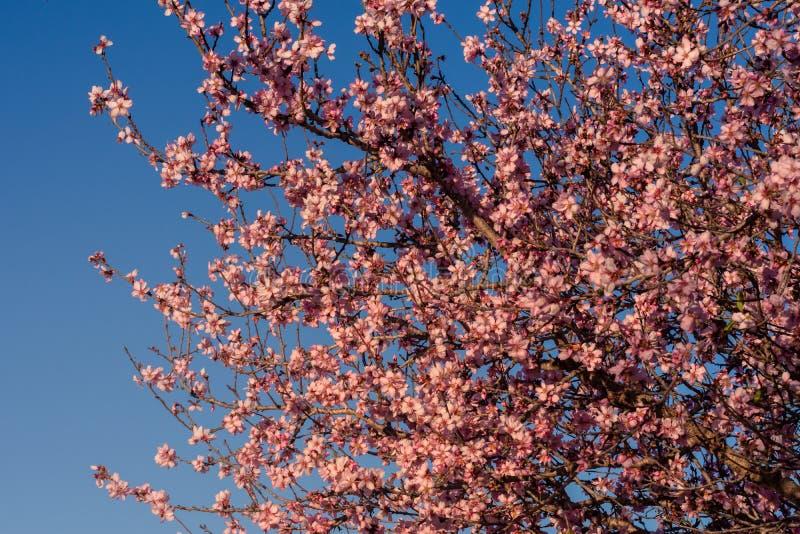 Fondo del fiore della primavera La bella scena della natura con l'albero di fioritura ed il sole si svasano Fiori della mandorla  fotografie stock