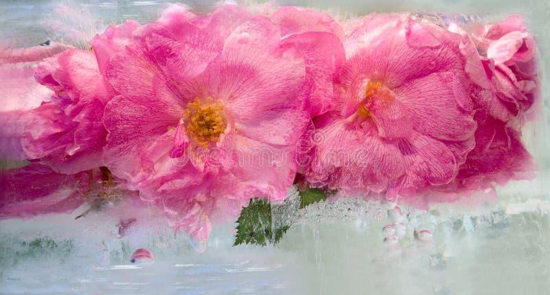 Fondo del fiore di rosa congelato in ghiaccio immagini stock