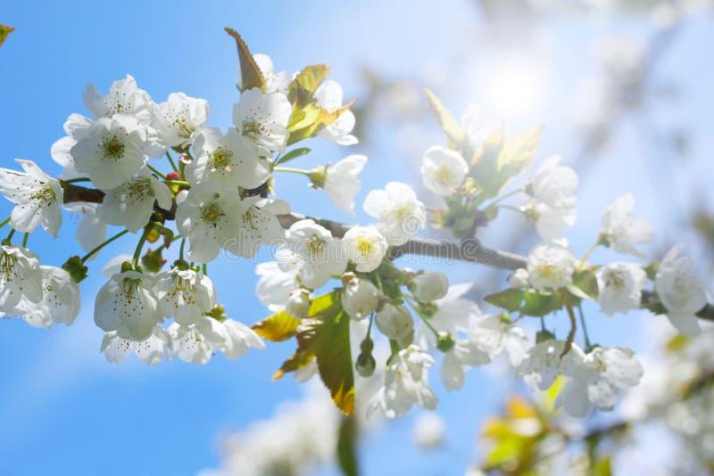 Fondo del flor de la primavera con las flores blancas delicadas Escena hermosa de la naturaleza con el árbol floreciente fotos de archivo libres de regalías