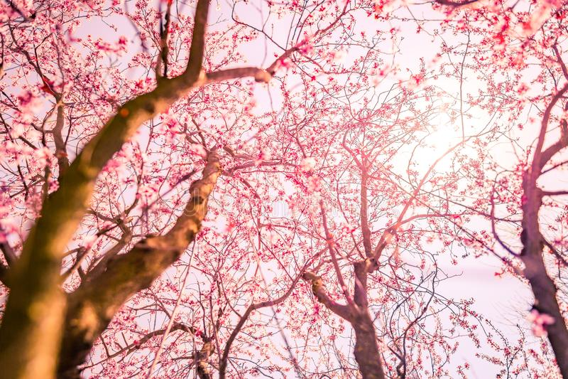 Fondo del flor de la primavera Escena hermosa de la naturaleza con día soleado floreciente de la llamarada del árbol y del sol Ap fotos de archivo libres de regalías