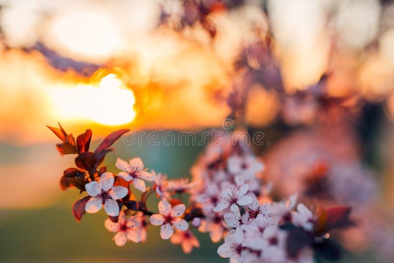 Fondo del flor de la primavera La escena hermosa de la naturaleza con el árbol floreciente y el sol señalan por medio de luces Dí foto de archivo
