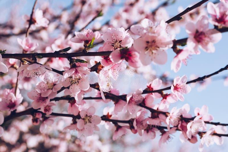 Fondo del flor de la primavera La escena hermosa de la naturaleza con el árbol floreciente y el sol señalan por medio de luces Dí fotografía de archivo