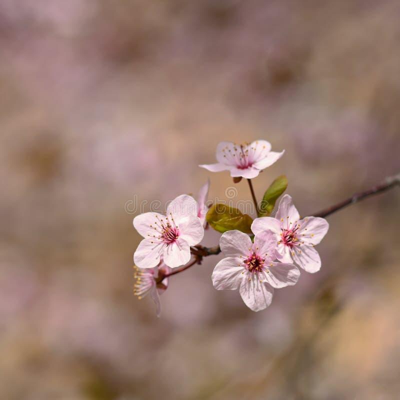 Fondo del flor de la primavera Escena hermosa de la naturaleza con el cerezo floreciente - Sakura Fondo borroso extracto de la hu imagen de archivo libre de regalías