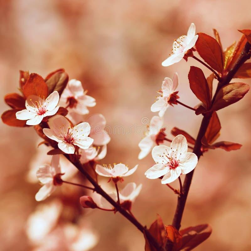 Fondo del flor de la primavera Escena hermosa de la naturaleza con el cerezo floreciente - Sakura Fondo borroso extracto de la hu imagenes de archivo