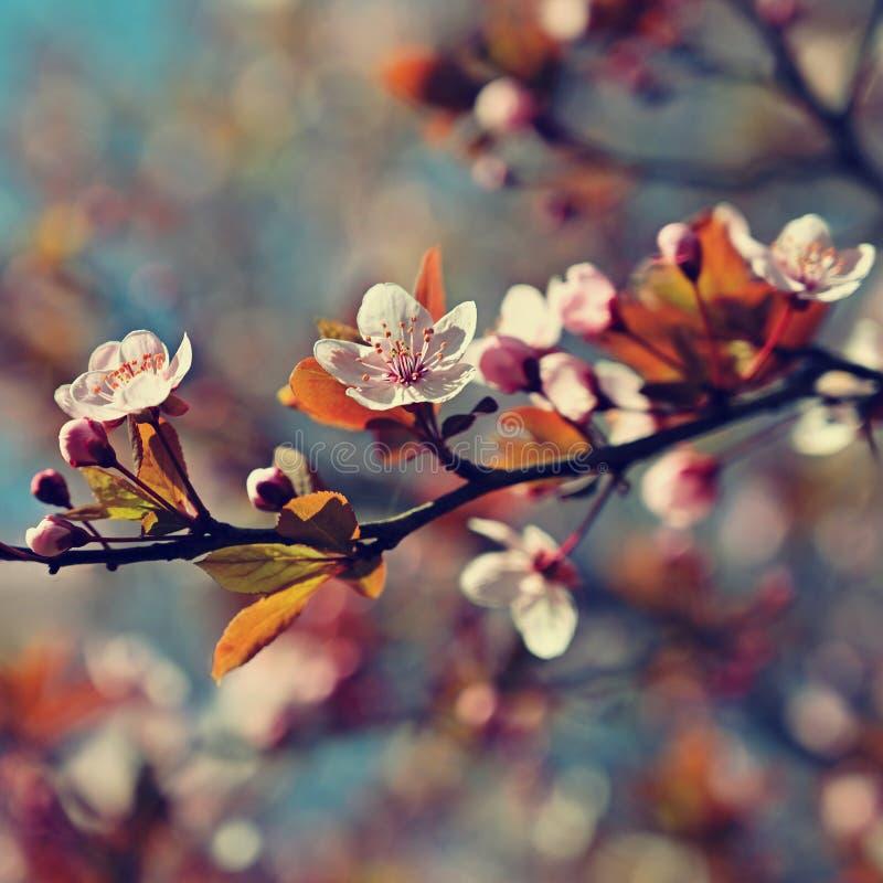 Fondo del flor de la primavera Escena hermosa de la naturaleza con el cerezo floreciente - Sakura Fondo borroso extracto de la hu fotografía de archivo libre de regalías