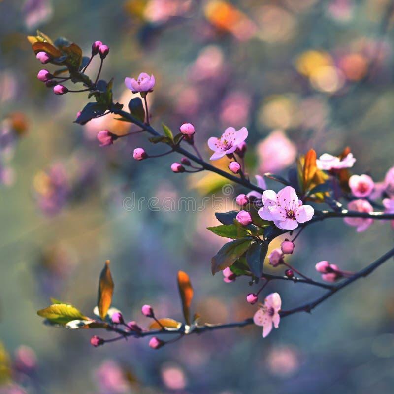 Fondo del flor de la primavera Escena hermosa de la naturaleza con el cerezo floreciente - Sakura Fondo borroso extracto de la hu imagen de archivo