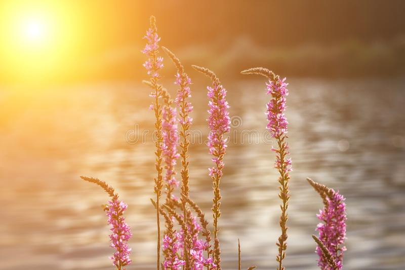 Fondo del flor de la primavera Escena hermosa de la naturaleza con la llamarada floreciente de la flor y del sol Día asoleado Ape imágenes de archivo libres de regalías