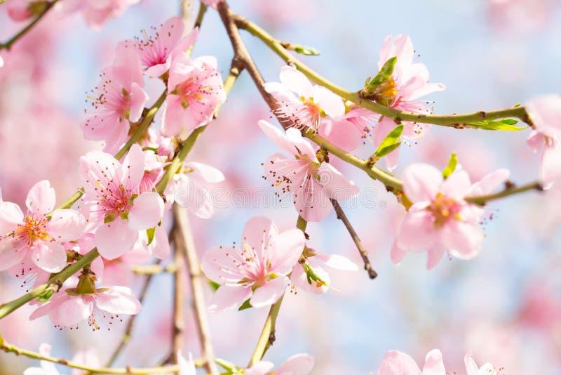 Fondo del flor de la primavera, flor del árbol de melocotón en un día hermoso fotografía de archivo