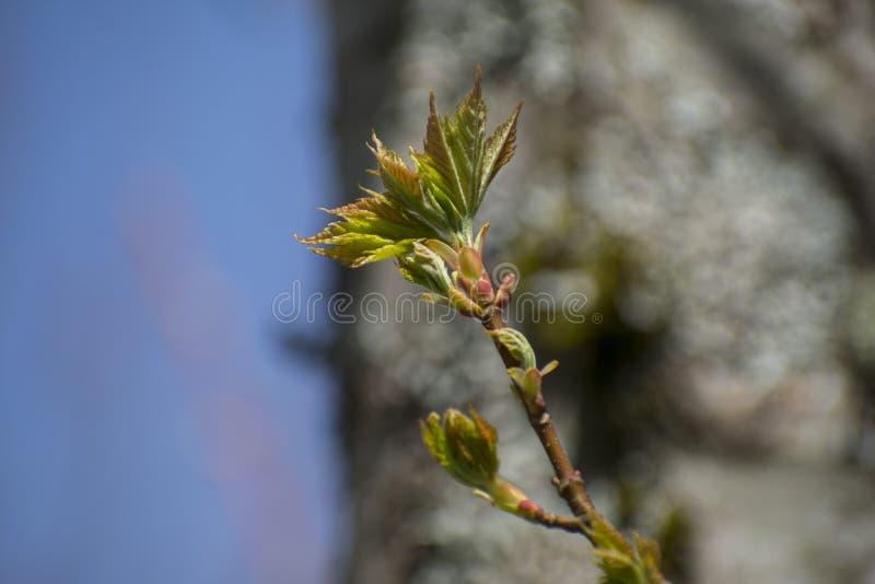 Fondo del giacimento del cielo blu il giorno soleggiato della molla Germogli sull'albero Lascia quel germoglio su una molla del r fotografie stock