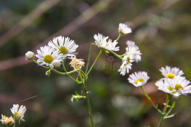 Fondo del giacimento di fiori della camomilla Giacimento di fiori della margherita bianca di estate fotografie stock