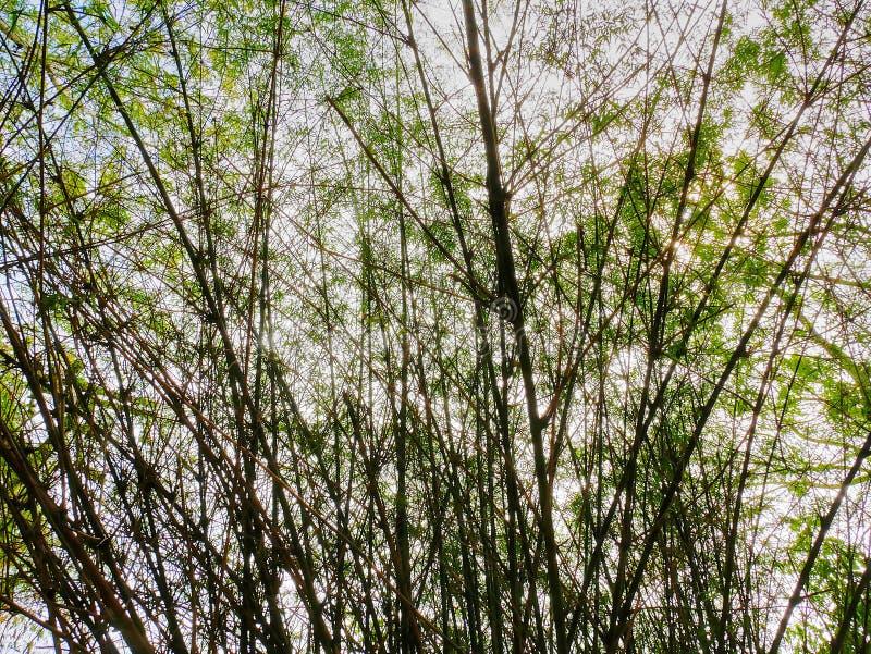 Fondo del gruppo di alberi di bambù fotografia stock libera da diritti