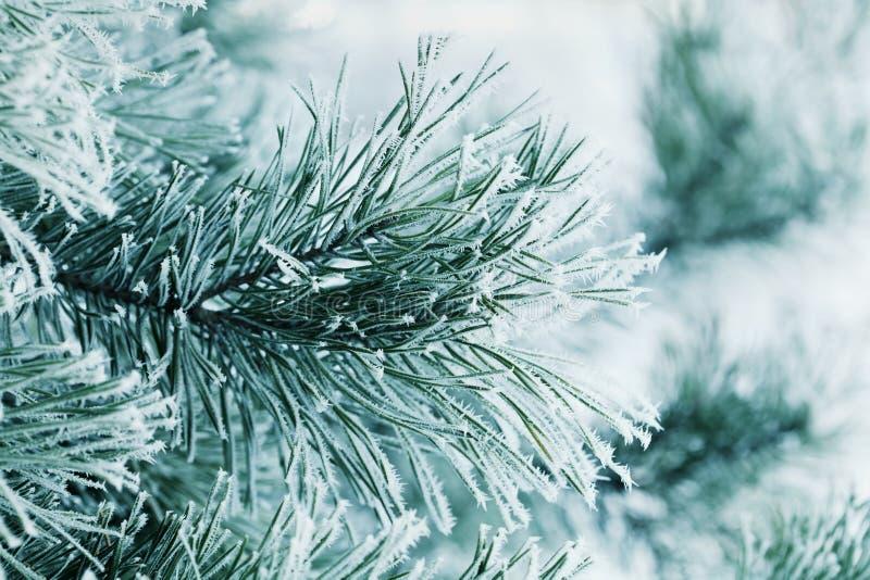 Fondo del invierno de la rama del pino en la nieve y de la helada en un día frío Naturaleza macra foto de archivo