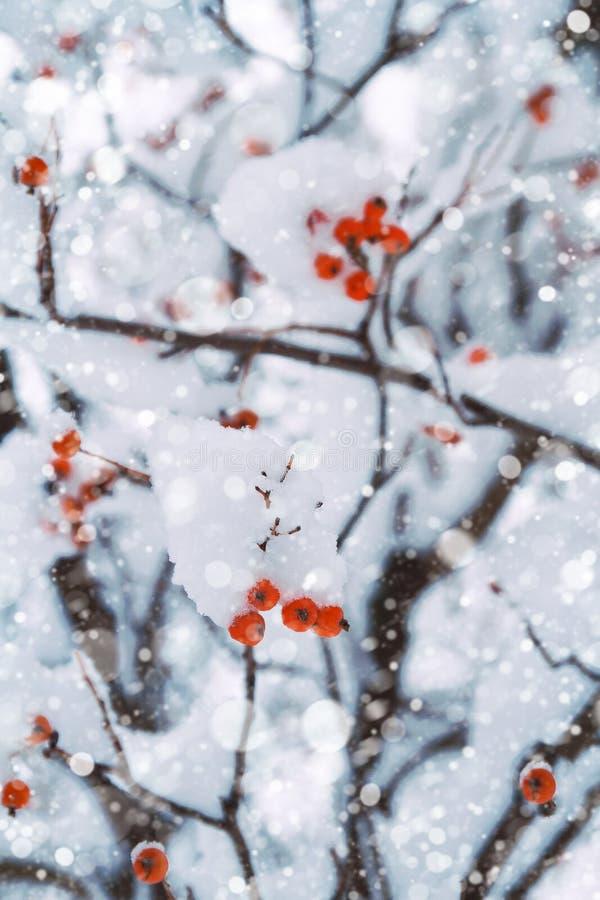 Fondo del invierno de las ramas de árbol nevosas con las bayas rojas Bosque del invierno con nieve que cae fotos de archivo libres de regalías