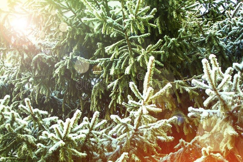 Fondo del invierno y de la Navidad Foto del primer de la rama del abeto cubierta con Frost y nieve fotos de archivo libres de regalías