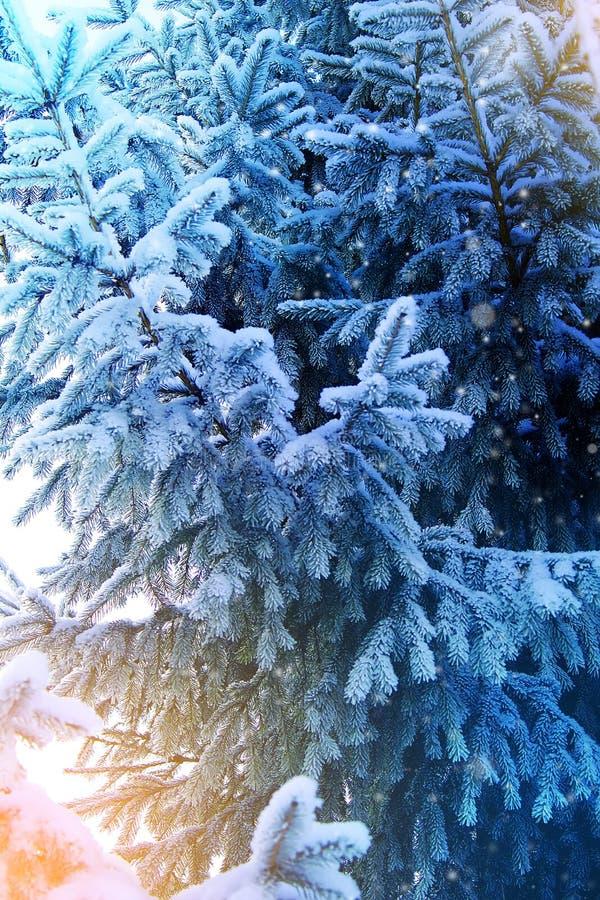 Fondo del invierno y de la Navidad Foto del primer de la rama del abeto cubierta con Frost y nieve foto de archivo libre de regalías