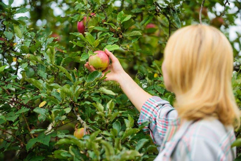 Fondo del jardín de la manzana del control de la mujer Producto natural orgánico de la producción de granja Jardín rústico de la  fotos de archivo libres de regalías
