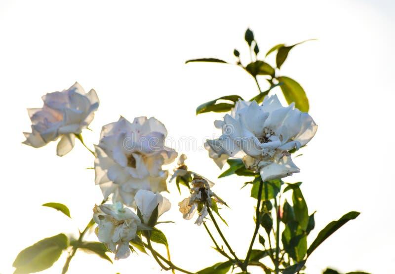 Fondo del jardín de la naturaleza de las flores de las rosas blancas fotos de archivo libres de regalías