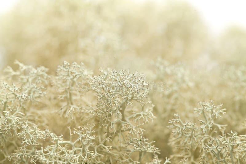 Fondo del lichene di renna fotografia stock libera da diritti