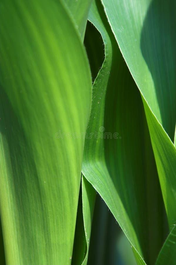 Fondo del maíz indio imágenes de archivo libres de regalías