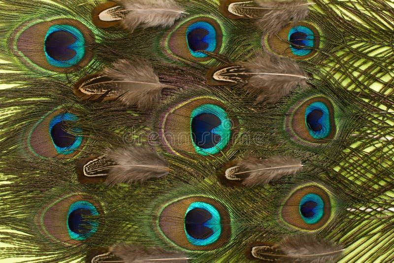 Fondo del modelo de las plumas del pavo real y del faisán foto de archivo
