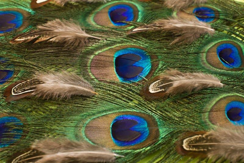 Fondo del modelo de las plumas del pavo real y del faisán fotografía de archivo libre de regalías
