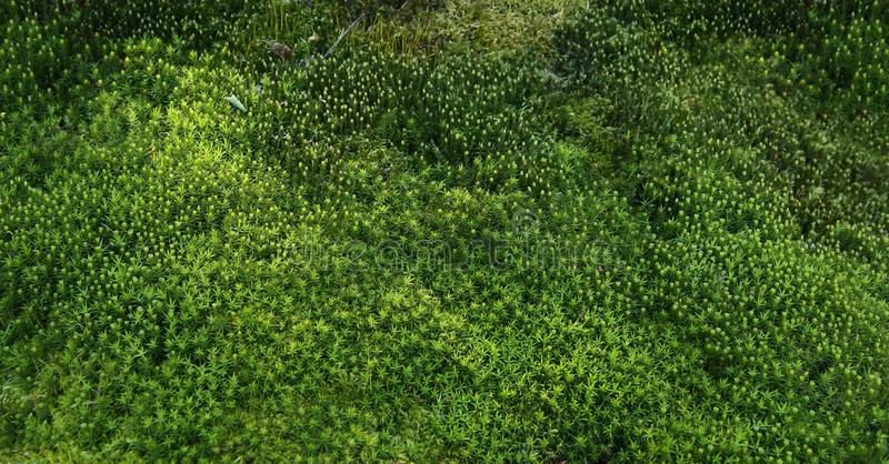 Fondo del musgo del bosque Modelo de la belleza de la naturaleza foto de archivo libre de regalías
