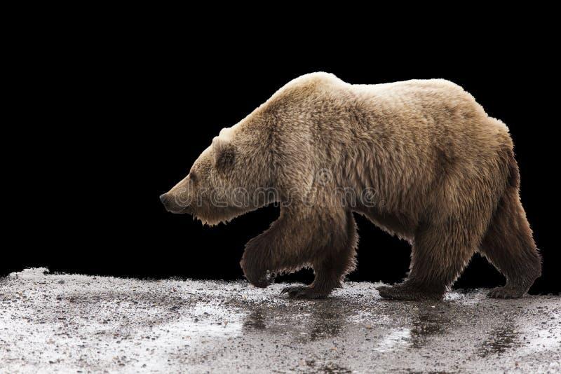 Fondo del oso grizzly fotografía de archivo libre de regalías