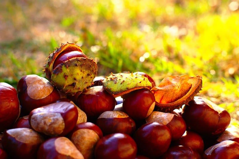 Fondo del otoño con las castañas de Indias f imagen de archivo libre de regalías