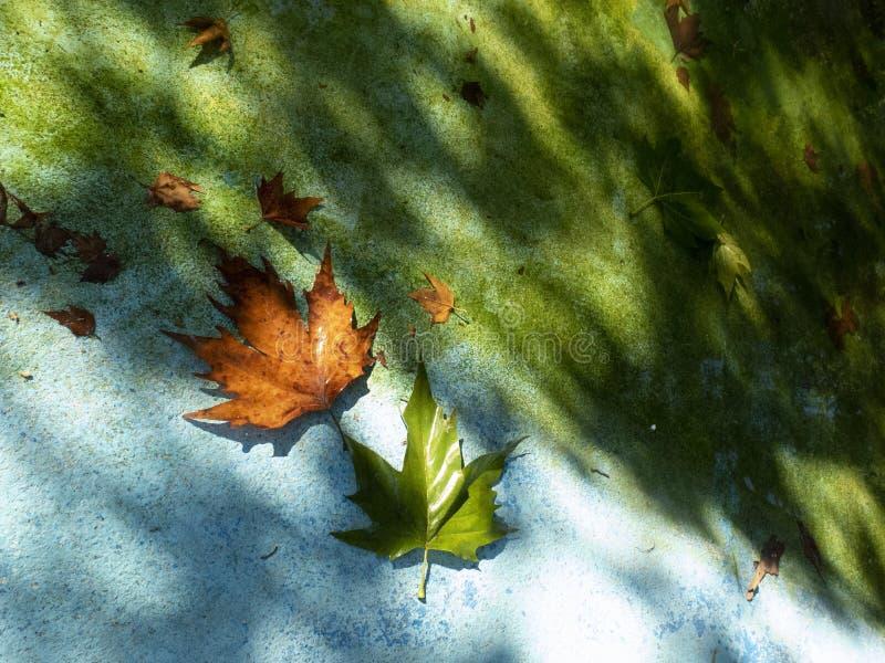 Fondo del otoño con las hojas de arce y fondo azul en la luz del sol imagenes de archivo