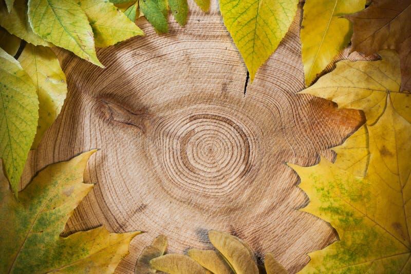 Fondo del otoño: las hojas del amarillo en una sierra circular cortaron el alerce imagen de archivo libre de regalías