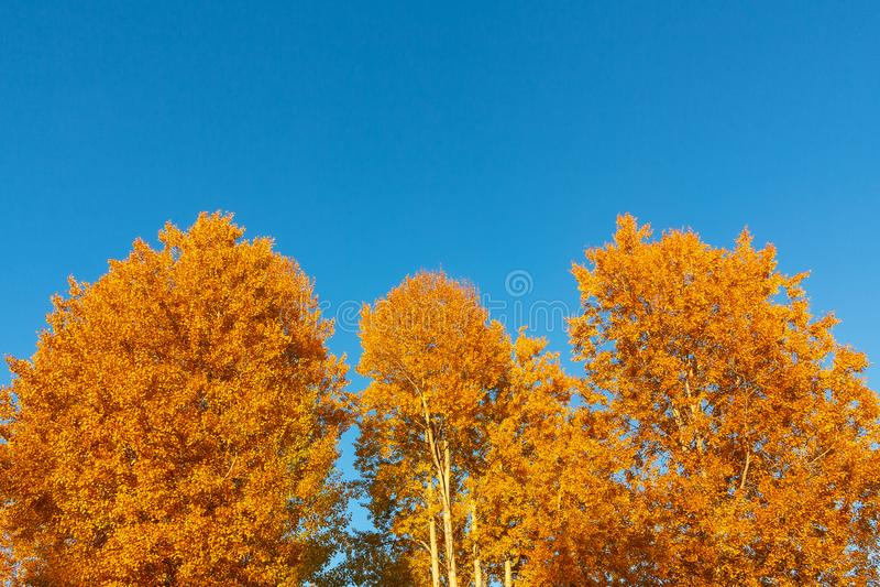 Fondo del oto?o - coronas amarillo-naranja de ?rboles contra un fondo del cielo azul limpio fotografía de archivo
