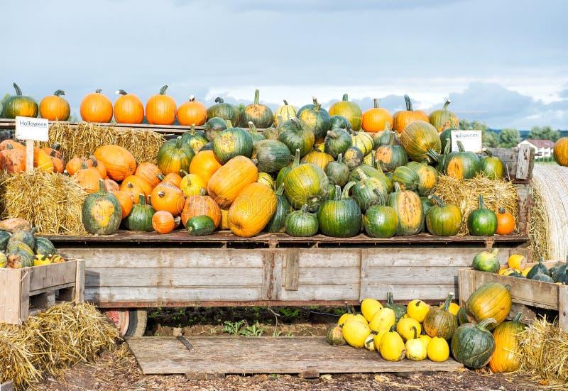 Fondo del paisaje de la naturaleza del otoño de la cosecha de la calabaza imagen de archivo libre de regalías