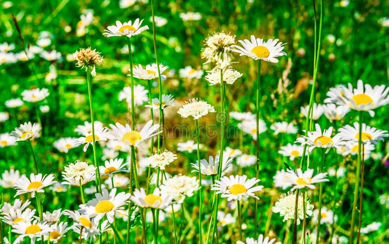 Fondo del panorama con las margaritas y la hierba verde fresca imágenes de archivo libres de regalías