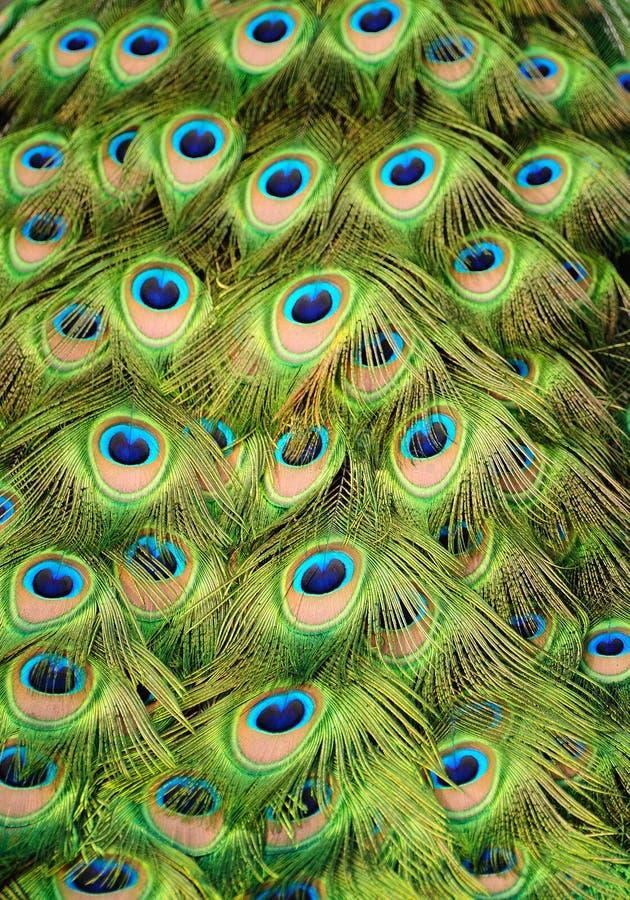 Fondo del pavo real fotografía de archivo libre de regalías