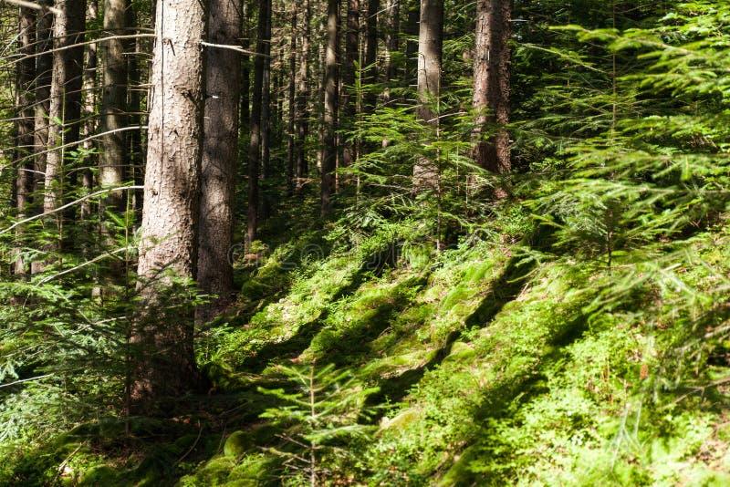 Fondo del pino della regione selvaggia della foresta, paesaggio luminoso della natura di autunno immagine stock libera da diritti