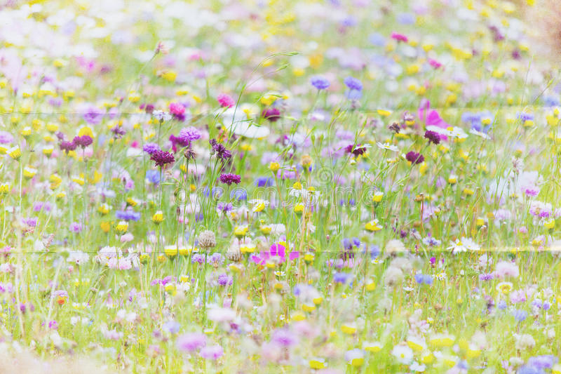 Fondo del prato del Wildflower immagine stock