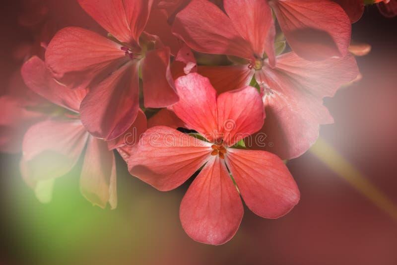 Fondo del primer de la flor del geranio en effcet ligero borroso imagen de archivo libre de regalías