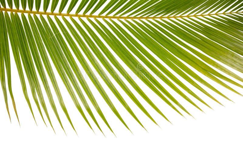 Fondo del primo piano di una fronda della palma su bianco immagini stock