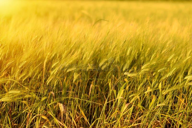 Fondo del raccolto di caduta di autunno Giorno soleggiato, prato dell'oro giallo del grano immagine stock libera da diritti