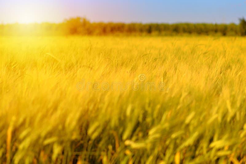 Fondo del raccolto di caduta di autunno Giorno soleggiato, prato dell'oro giallo del grano fotografia stock