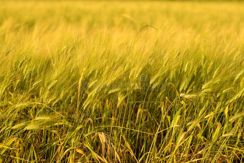 Fondo del raccolto di caduta di autunno Giorno soleggiato, prato dell'oro giallo del grano fotografie stock libere da diritti