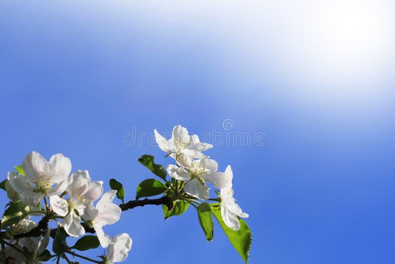 Fondo del resorte El manzano hermoso de la rama florece contra un fondo azul imágenes de archivo libres de regalías