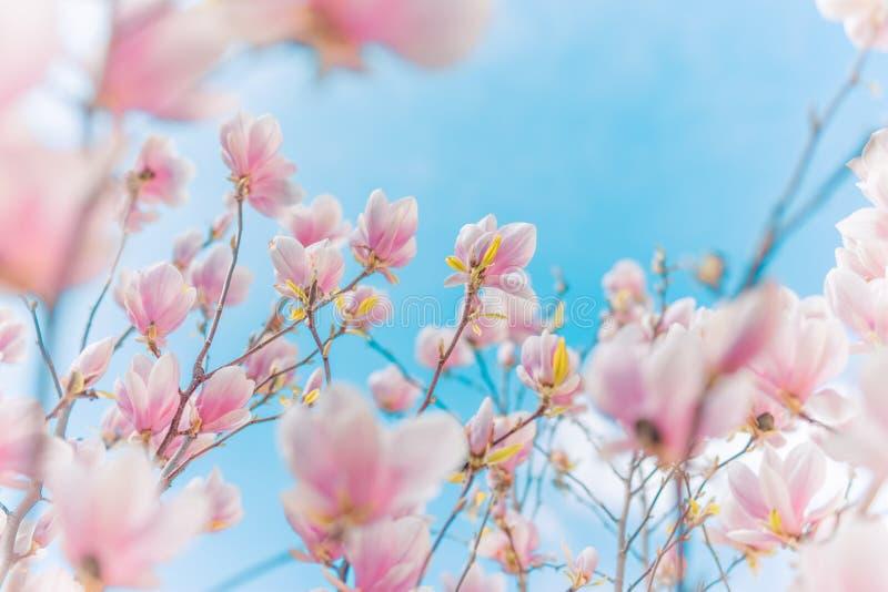 Fondo del resorte Las flores de la magnolia y el fondo borroso, saltan los colores y humor suaves del verano fotografía de archivo libre de regalías