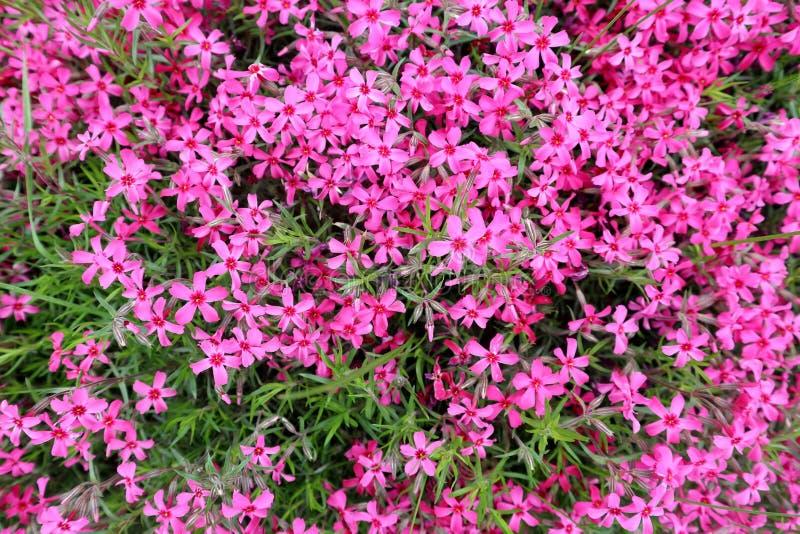 Fondo del tappeto rosa dei fiori fotografia stock